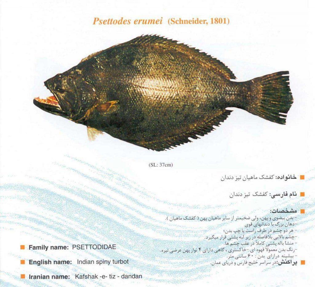 ماهی کفشک تیزدندان