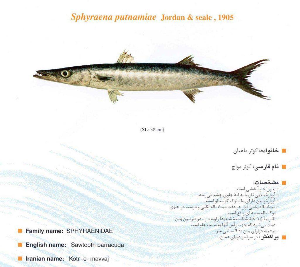 ماهی کوتر مواج