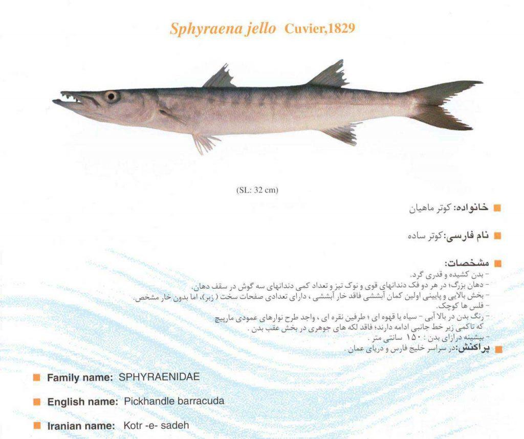 ماهی کوتر ساده