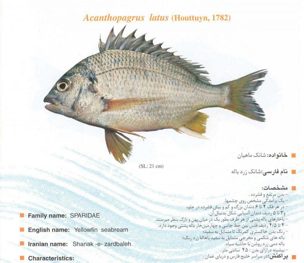 ماهی شانک زردباله