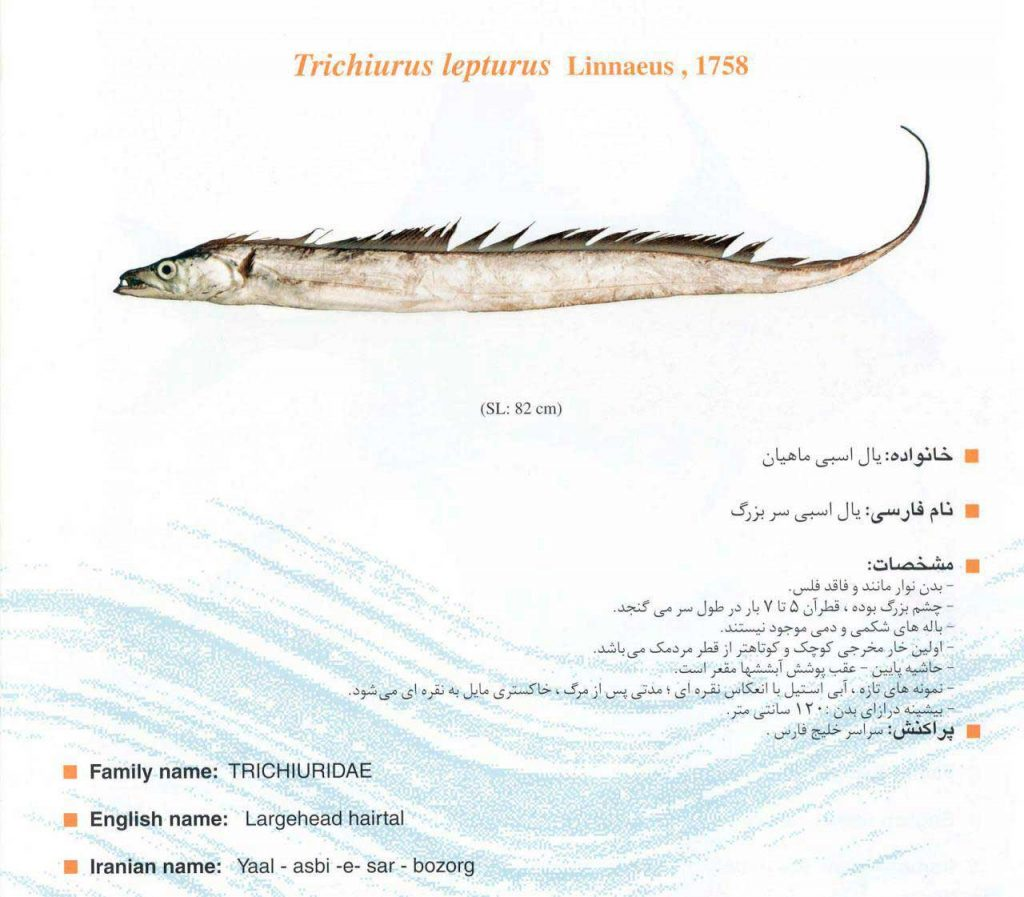 ماهی یال اسبی سربزرگ