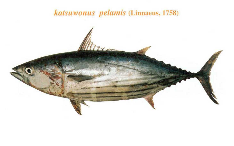 ماهی هوور مسقطی