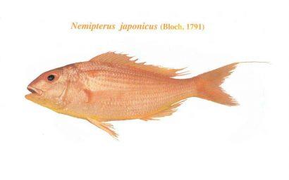 ماهی گوازیم دم رشته ای