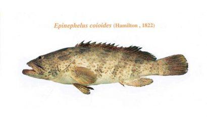 ماهی هامور معمولی