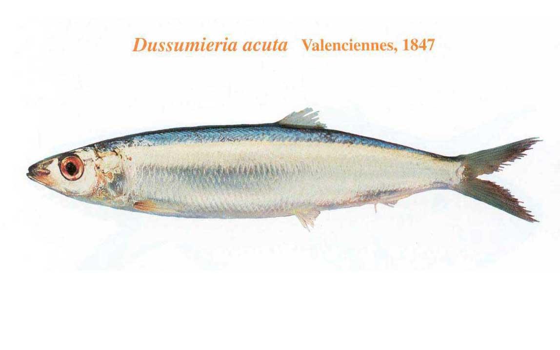 ماهی ساردین رنگین کمان