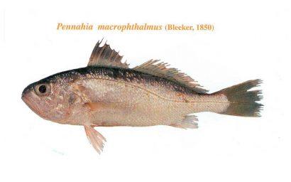 ماهی شبه شوریده چشم درشت
