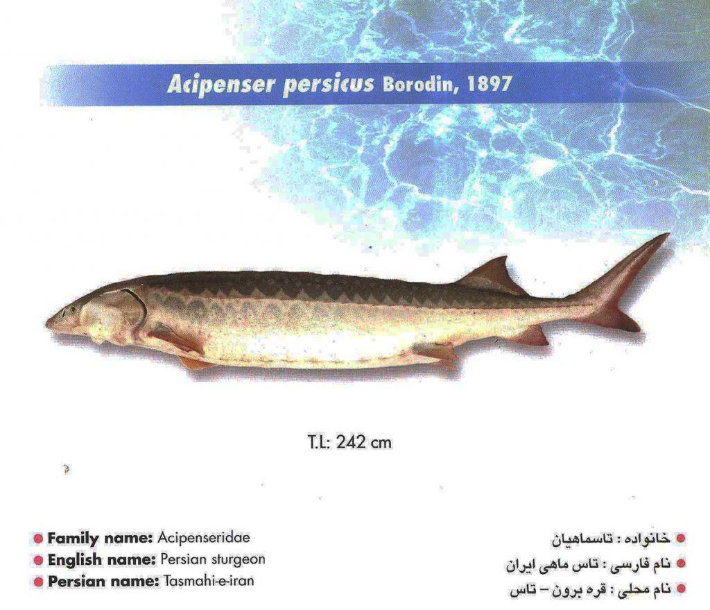 ماهی قره برون
