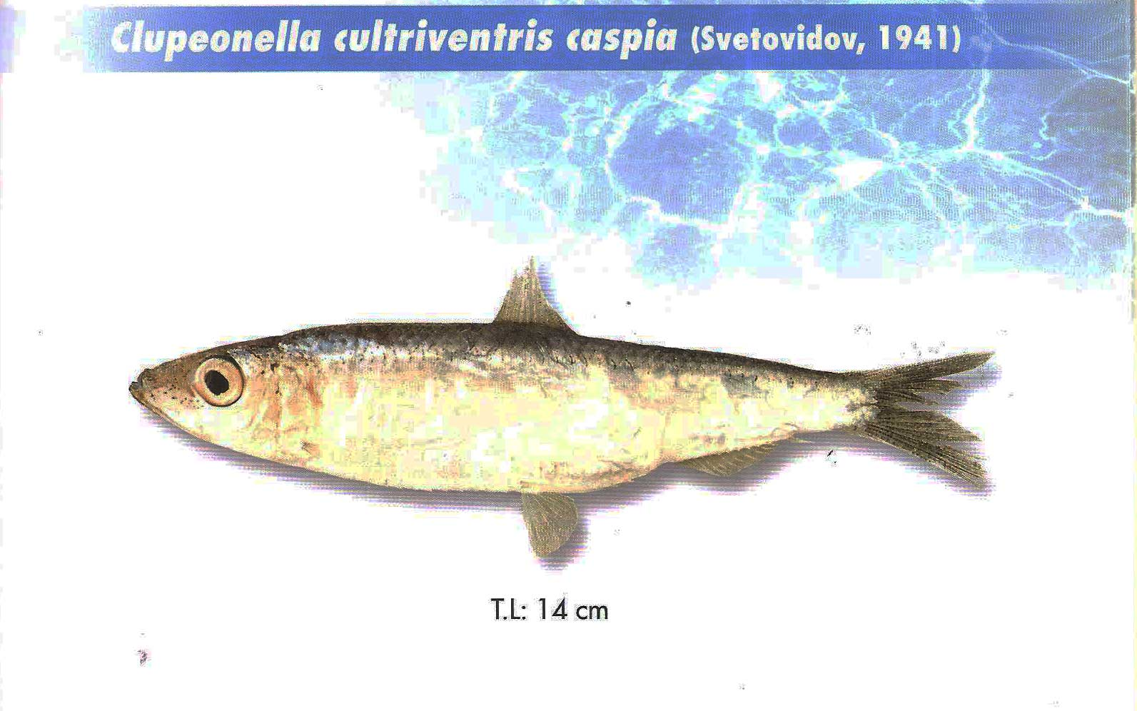 ماهی کیلکا