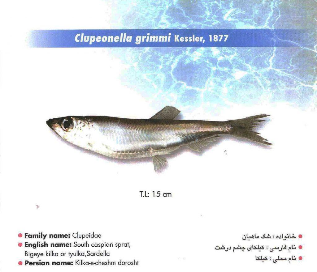 ماهی کیلکا چشم درشت