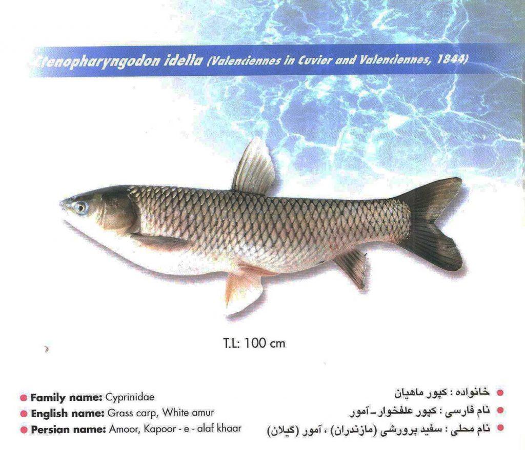 ماهی کپور علفخوار – آمور