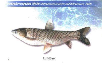 ماهی کپور علفخوار - آمور
