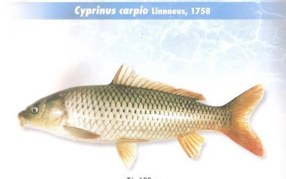 ماهی کپور معمولی
