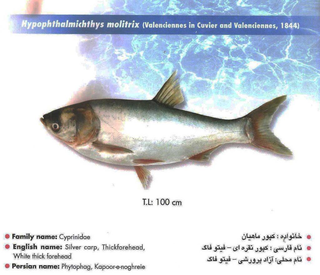 ماهی آزاد پرورشی – فیتوفاگ
