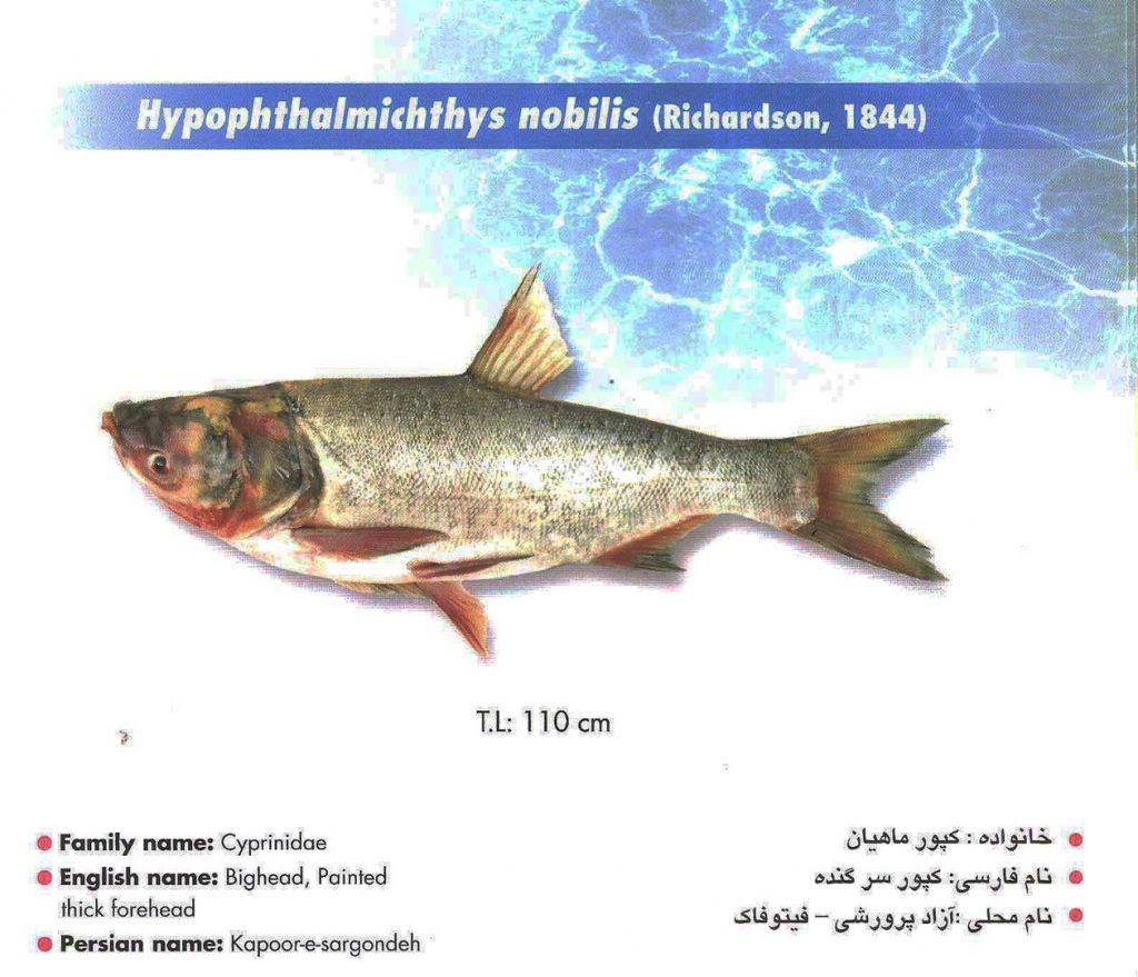 ماهی آزاد پرورشی – بیگ هد