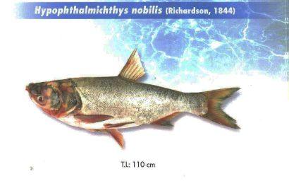 ماهی آزاد پرورشی - بیگ هد