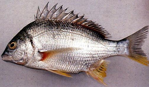 پرورش ماهی سی بس دریایی