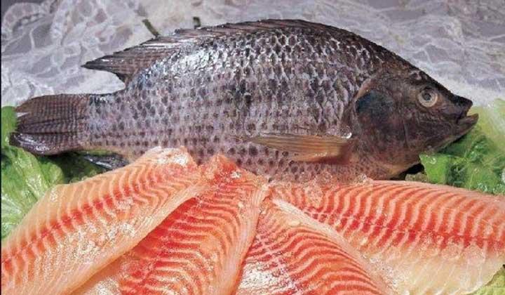 نگرانی پرورش دهندگان ماهی را جدی بگیریم و به تیلاپیا هم فکر کنیم