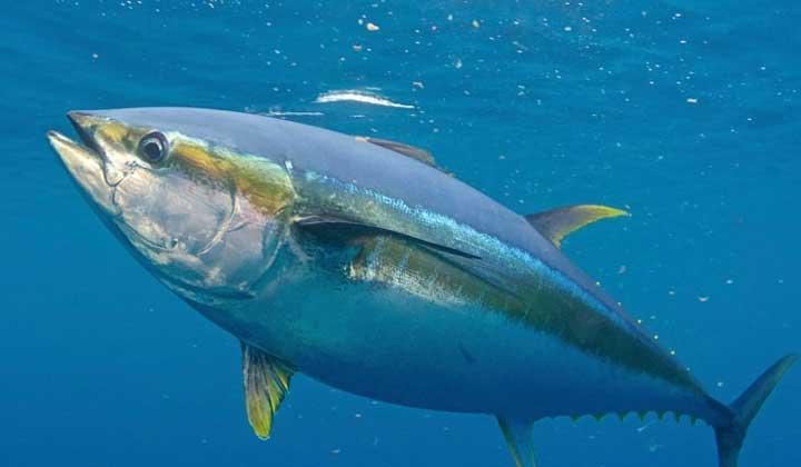 تجارت جهانی تن ماهیان