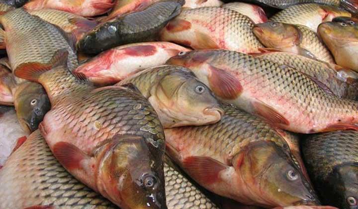 ممنوعیت واردات ماهیان گرمابی به کشور عراق